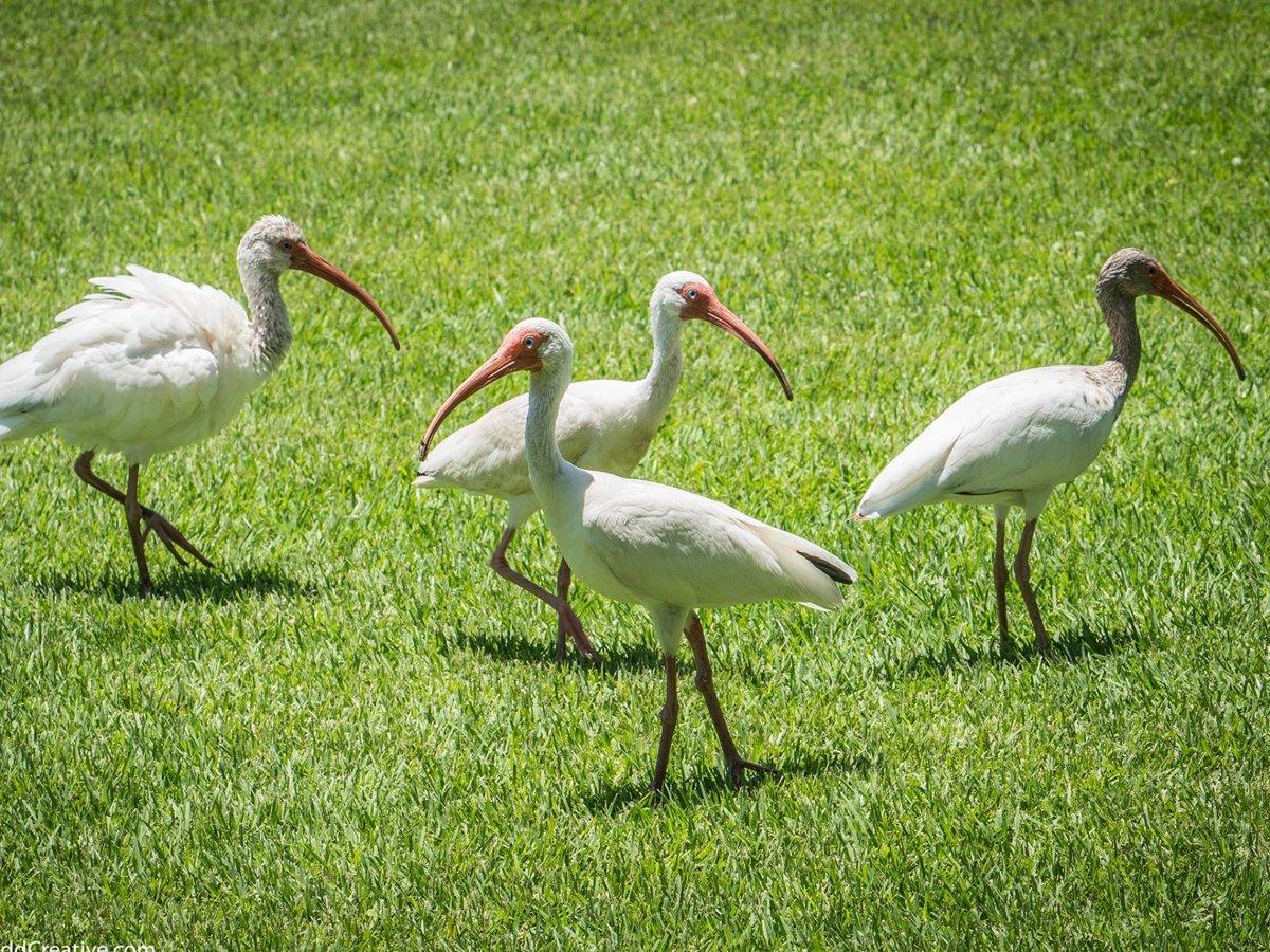 wildlife_white_birds_replace (1)